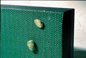 Zawierające metal cząsteczki akwariowego podłoża przywierają do magnetycznego czyścika do szyb. Fot. D. Knop
